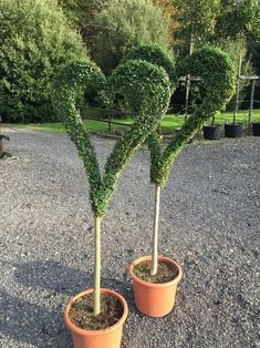 How to trim decorative shrubs by giving them special shapes – Practical ideas Boxwood Landscaping, Boxwood Garden, Topiary Garden, Topiary Trees, Front Yard Landscaping, Garden Planters, Outdoor Plants, Outdoor Gardens, Pinterest Garden