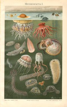 1898 Sea Life, Mediterranean Jelly, Portuguese Man-of-war, Pelagic Sea Cucumber, Beroid Comb Jelly, Paper Nautilus Antique Lithograph