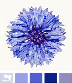 Cornflower blue---but has shades of purple