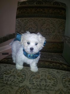 Maltipoo...preciousness Maltipoo Puppies, Cute Puppies, Dogs And Puppies, Teacup Maltese, Shaggy, Poodle, Best Dogs, Babys, Madness