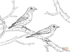 1000 images about oiseau on pinterest coloring pages for Eastern bluebird coloring page