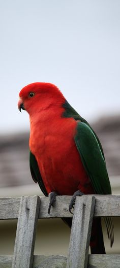 Picture Of A King Parrot