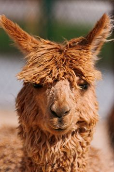 Portrait of an alpaca