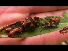 Macro Video of Milkweed Bugs in Orlando, FL - YouTube
