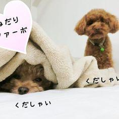 #おねだりファーボ * おはようございます☀️ * @furbo_japan さんのFurboプレゼントのキャンペーン お昼の12時で応募終了なんでpostしちゃう😆💦 * おやつが出てくると知って Furboが欲しくてたまらんワンズ🐶 (ととさんピントあってない…) * #おねだりファーボ#ファーボが欲しい#furbo_japan#愛犬#といぷー#トイプードル#ねね#トイプードル女の子#とと#トイプードル男の子#トイプードル多頭飼い#ふわもこ部#いぬばか部#今日のわんこ#いぬすたぐらむ#toypoodle#dog#west_dog_japan#todayswanko#dogstagram#instadog#poodle_corner#followme