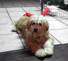 Kokito Tibetan Terrier, Terriers, Dog Cat, Pets, Animals, Animales, Animaux, Terrier, Animal