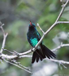 Shining-green Hummingbird - Lepidopyga goudoti
