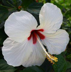 Mount Everest Hibiscus,Hibiscus rosa-sinensis 'Mount Everest' - Almost Eden