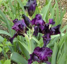 iris gemanica 'joanna' 6/17 kukkapenkki