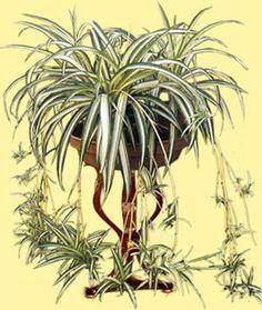 Chlorophytum - Entretien