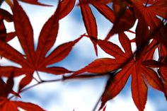 Beautiful Crimson Red Japanese Maple Leaves - 8x10 - Photograph for sale by PickaPic on Etsy.  Available in other sizes!!!!
