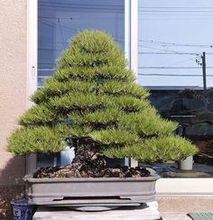 6 una belleza... so big for so little dirt!! It's not a bonsai, is it???