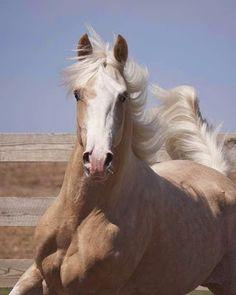 What a Beauty.I would love a Palomino Most Beautiful Animals, Beautiful Horses, Beautiful Creatures, Palomino, Caballo Haflinger, Majestic Horse, All The Pretty Horses, All Gods Creatures, Horse Love