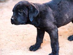 www.elitek-9.com  #bandogge, #protectiondogs, #CEO, #militaryk9, #exotics #vonriesig American Bandogge Mastiff, Executive Protection, Working Dogs, Luxury Life, Dog Training, Labrador Retriever, Travel, Animals, Labrador Retrievers