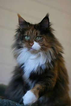 Maine Coon ♥ http://www.mainecoonguide.com/how-to-tell-if-a-kitten-is-a-maine-coon/