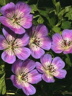 Geranium 'Sweet Heidy' - flowers from late spring to fall in zones 5-8