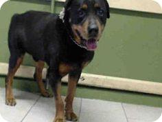 Gardena, CA - Rottweiler. Meet RAIDER, a dog for adoption. http://www.adoptapet.com/pet/12871081-gardena-california-rottweiler