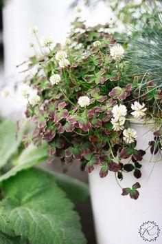 KUKKALA #apila #clover #trifolium Beautiful Flowers Pictures, Flower Pictures, Garden Plants, Indoor Plants, Container Gardening, Gardening Tips, Clover Plant, Summer Plants, Garden Maintenance