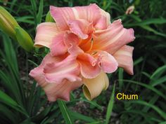 Photo of Daylily (Hemerocallis 'Chum'). Caption: Photo Courtesy of Crossview Gardens. Beautiful Flowers Pictures, Flower Pictures, Day Lilies, Garden Plants, Iris, Patio Bed, Bloom, Lily, Van