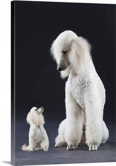 size comparison of adult Toy Poodle and Standard Poodle; Miniature Poodles are a size in between these two. Pet Dogs, Dog Cat, Pets, Doggies, Cute Puppies, Dogs And Puppies, Poodle Puppies, Dog Behavior, Training Your Dog