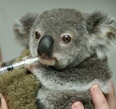 Sweet baby Koala