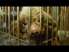 See B.B.'s Journey Out of Puppy Mill Darkness! -- Day of Giving - May 15, 2017--  B.B. was one of nearly 130 animals rescued from a puppy mill in Cabarrus County, North Carolina. See her journey out of the darkness into a better life. Every dollar raised will be used to stop these horrifying commercial dog-breeding facilities that contribute to pet overpopulation and cause countless dogs lifetimes of suffering and loneliness.
