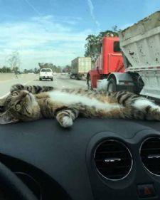 Zaboravite jastučiće, pse kojima se klima glava i ostalo. Ono što vam treba da sa opustite dok vozite jeste mačka. Predstavljamo vam Rori, mačku koja obožava da se vozi u kolima jer tako opušta i sebe i svoje vlasnike.