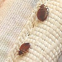 6 Home Remedies For Bed Bugs