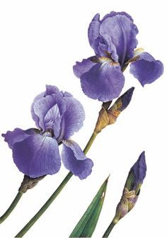 'Iris Jane Phillips' by Christine Stephenson, an award-winning botanical artist who paints minutely detailed 'portraits' of plants in watercolour Iris Flowers, Botanical Flowers, Botanical Prints, Flower Outline, Flower Art, Botanical Drawings, Botanical Illustration, Watercolor Flowers, Watercolor Art
