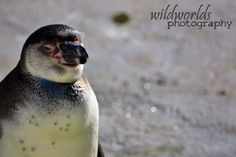 wildlife photography - penguin in captivity