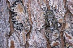 As cigarras também são conhecidas por se esconder nas árvores.  Fotografia: Reprodução / reppublica.it.