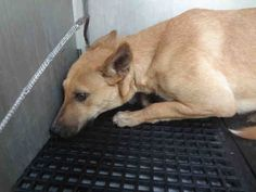 ♥♥AT SHELTER SINCE 12/2014, BEAUTIFUL GIRL♥♥♥A070459  I am a female, brown German Shepherd Dog mix.  My age is unknown. Brownsville Animal Regulation and Care   Center 416 F.M. 511  Olmito, TX 78575 Ph (956) 544-7351