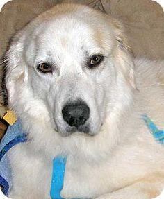 7/29/14 Beacon, NY - Great Pyrenees. Meet Sampson in KS - new!, a dog for adoption. http://www.adoptapet.com/pet/11257904-beacon-new-york-great-pyrenees