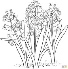 hyacinthus orientalis or common garden hyacinth super coloring