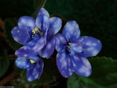 NESS' BLUEBERRY PUFF Standard African violet