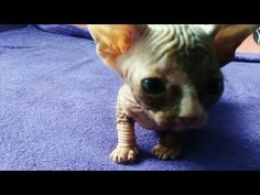 Baby cat Sphynx 6 day live - YouTube