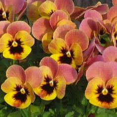 Pandora's Box Pansy - Annual Flower Seeds.