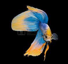 betta: Betta fish, siamese fighting fish, betta splendens isolated on black background Stock Photo