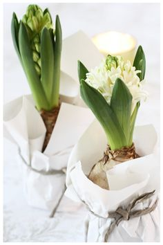 ☆ Bulbs in jars with tissue.as gifts for the Holidays or when ever. YES - White Hyacinth Xmas Flowers, Winter Flowers, Bulb Flowers, Love Flowers, Spring Flowers, Beautiful Flowers, Noel Christmas, Winter Christmas, Christmas Bulbs