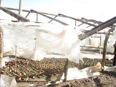 Roșiile, castraveții și salata care urmau să ajungă pe tarabe, peste trei săptămâni, vor ajunge, cel mai probabil, la gunoi. Vântul, care a bătut chiar și cu 100km/h, a pus la pământ toate serele din cea mai mare comună legumicolă din țară. Foliile solariilor au fost rupte, iar răsadurile au rămas pradă frigului. Mai mult, curentul electric a fost întrerupt din cauza furtunii, astfel că centralele care încălzeau serele s-au oprit iar peste noapte legumele au înghețat. Prada, Madness, Salads