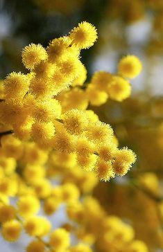 Yellow Acacia Mimosa Flowers
