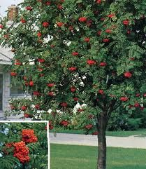 Showy Mountain Ash- wonderful contrasts between the foliage, fruit, and bark!  Check it out!