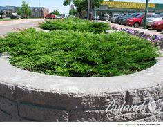E19 Calgary Carpet® Juniper - Juniperus sabina 'Monna' | Bylands Nurseries Ltd.