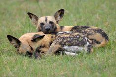 African Wild Dog sleepy morning greetings!