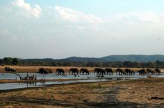 Elephant herd crossing the Luangwa River into the South Luangwa National Park