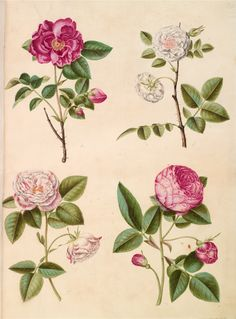 Hans Simon Holtzbecker, 1610-1620 - 1671 former attributed to Maria Sibylla Merian. Rosa gallica. Antique botanical rose illustration.