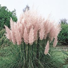 Pink Pampas Grasses in front of the house.