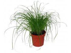 Kyperská tráva
