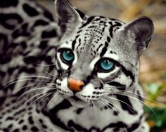 leopardo nublado - Google Search