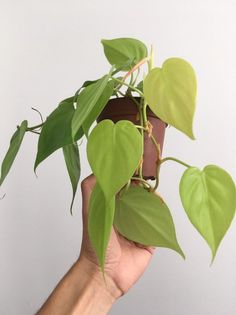 Philodendron Cordatum Neon- Neon Heartleaf Best Indoor Hanging Plants, Indoor Flowering Plants, Fake Plants Decor, Flowering Trees, Plant Decor, Cheap Plants, Cool Plants, Green Plants, Plant Aesthetic